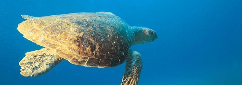 TurtleCaribbean